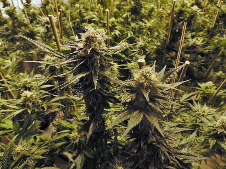 Akcesoria do uprawy marihuany – sklep Sioubiz ci je zapewni